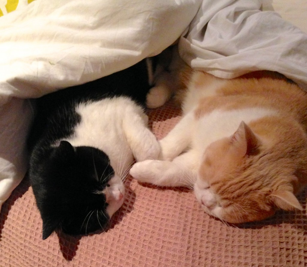 two cats, one a black bicolour and one a cream bicolour, sleep half under a comfy doona