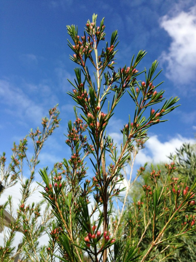 beautiful pink boronia buds against a blue sky