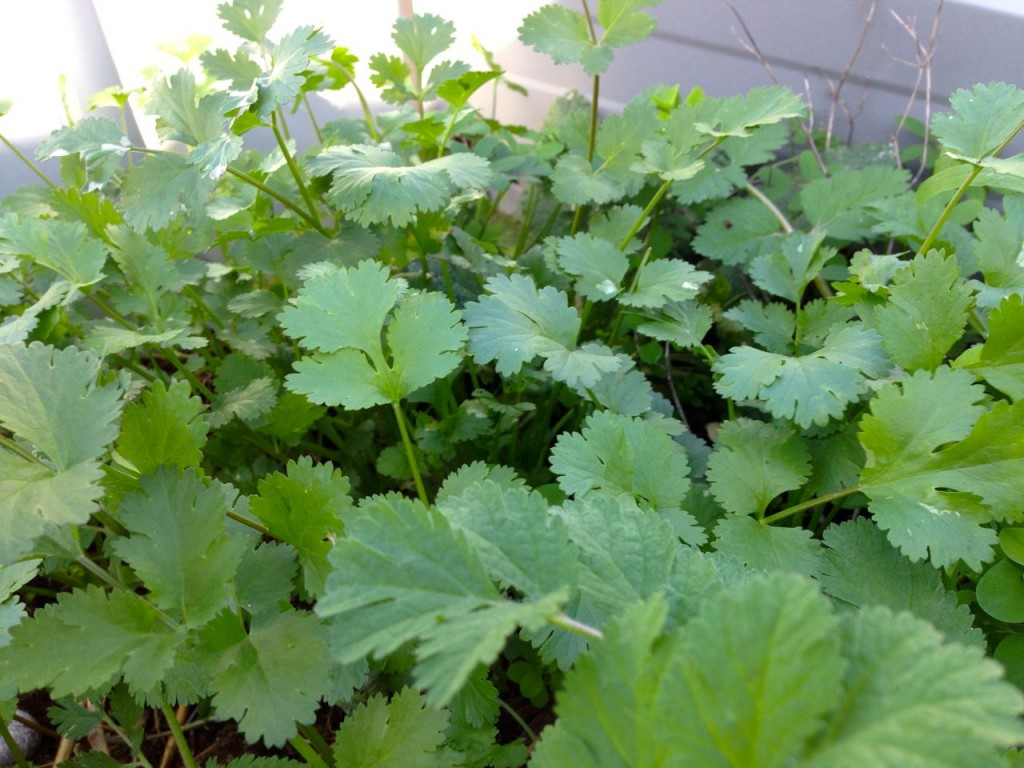 closeup of coriander leaves