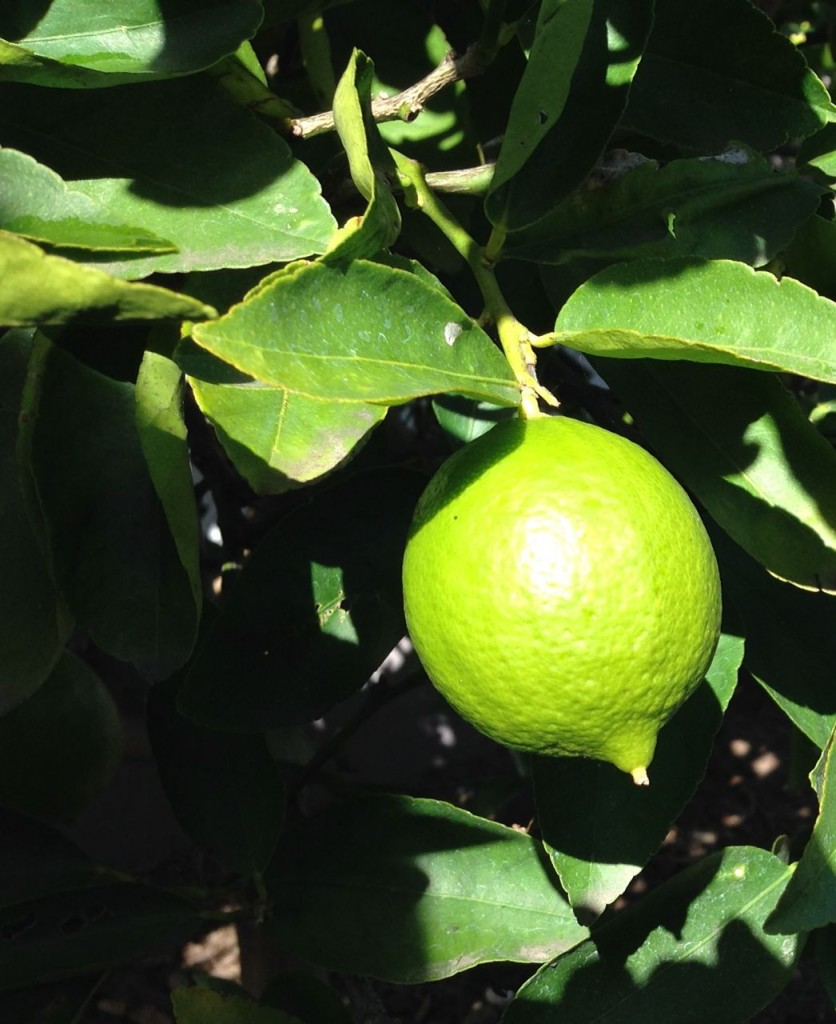 lime hanging from tree